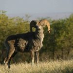 argali-sheep-in-east-gobi