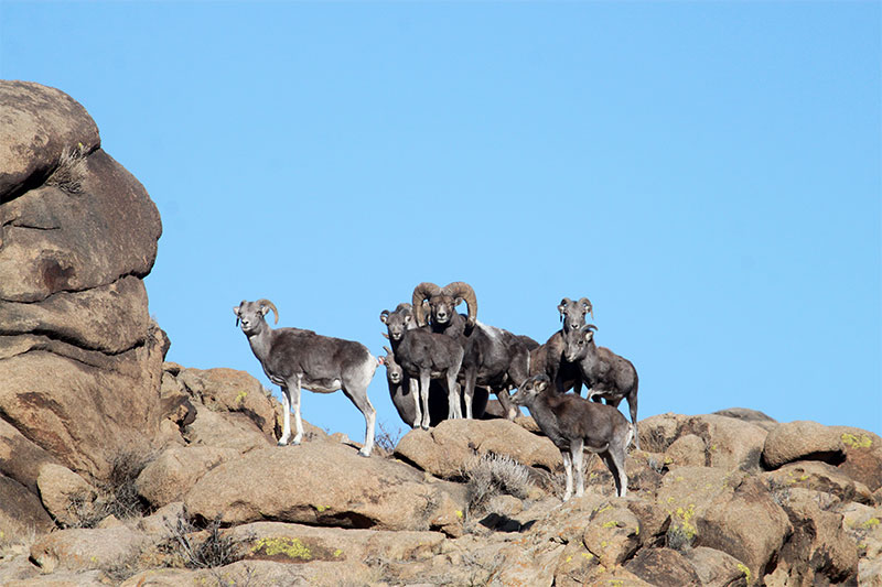 argali-sheeps-in-ikhnart