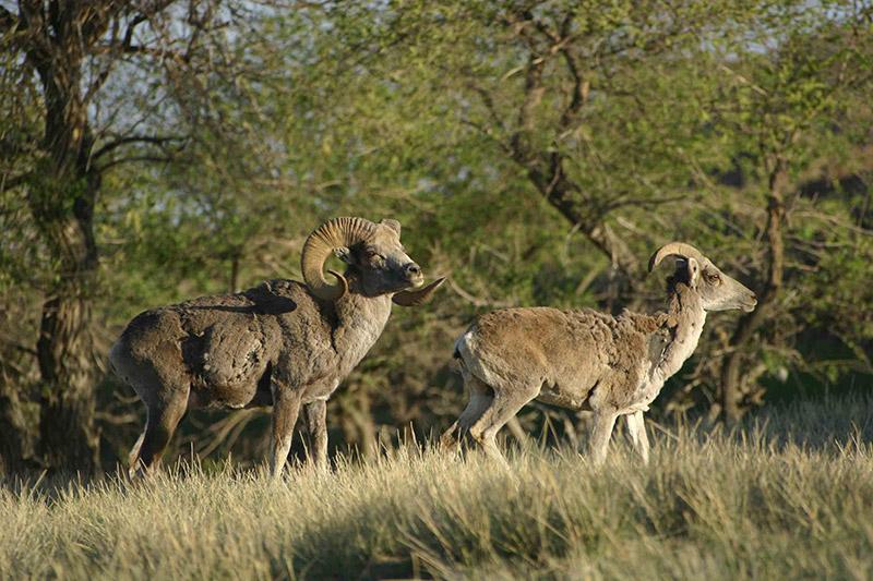 argali-sheep-in-ikh-nart