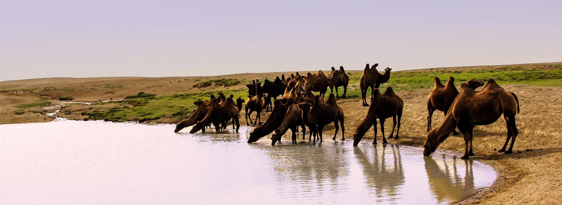 camel-drinking-water-in-south-gobi