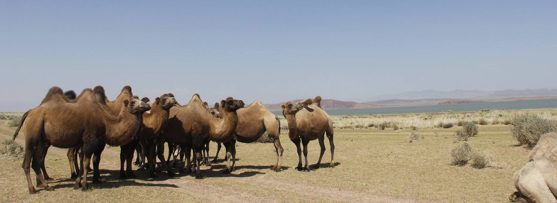 camels-lake-in-gobi
