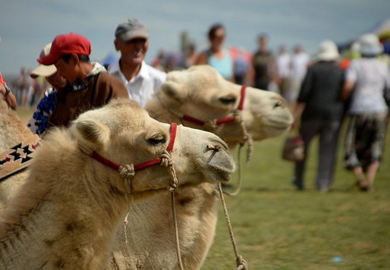 danshig-naadam-camels