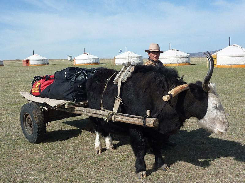 jalman-meadows-yak-transfer