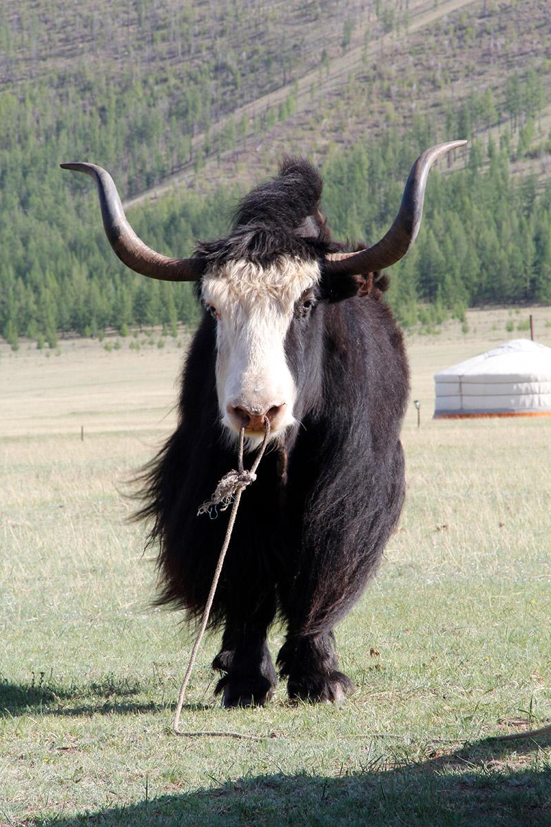 jalman-meadows-yak