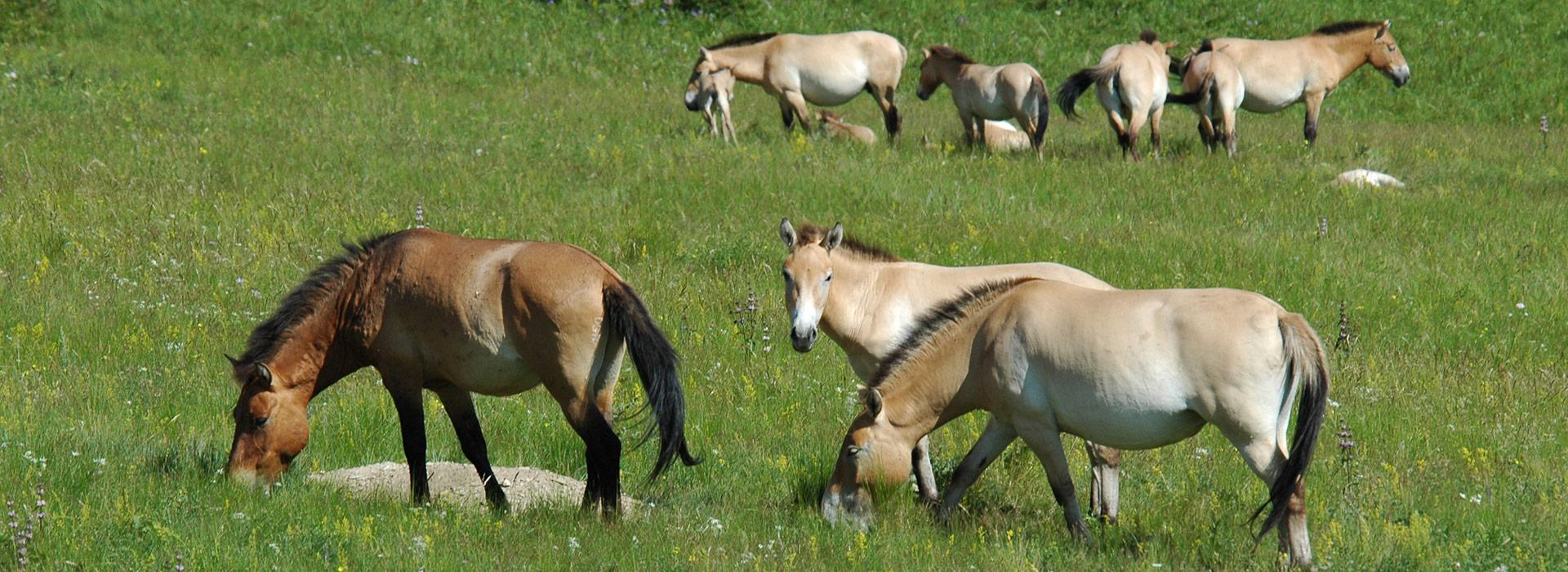 takhi-horse