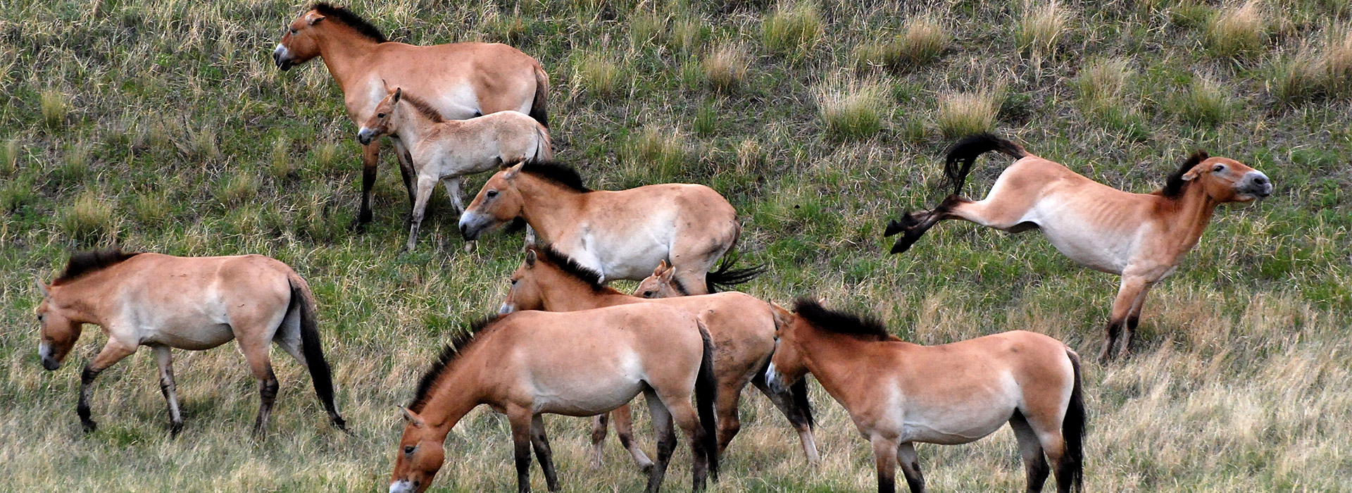 takhi-wild-horses
