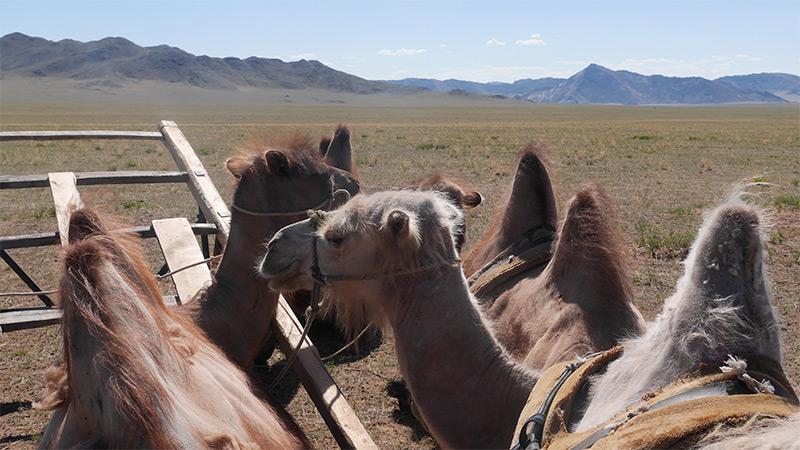 camel-caravan-in-the-east-gobi