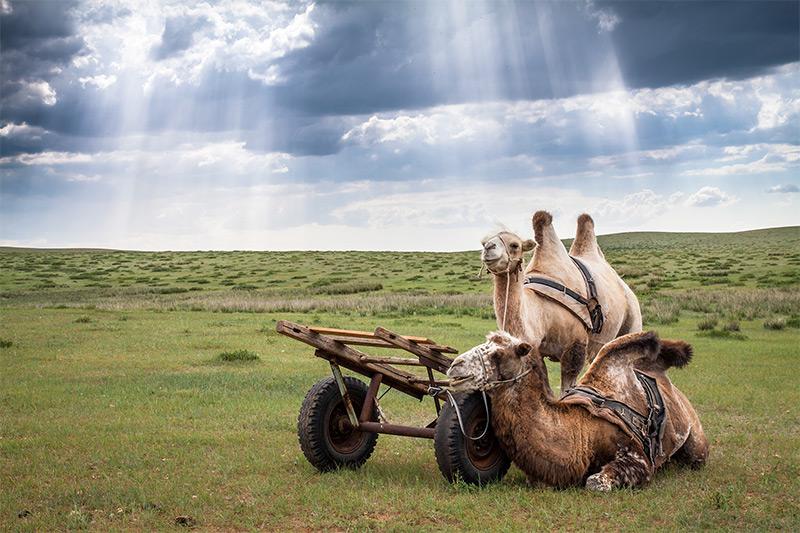 camel-cart-in-mongolia