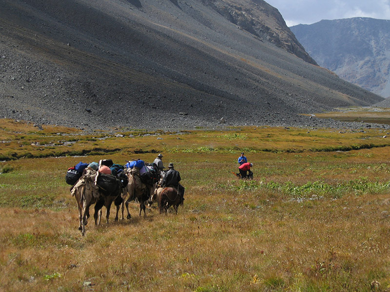 pack-camels-altai