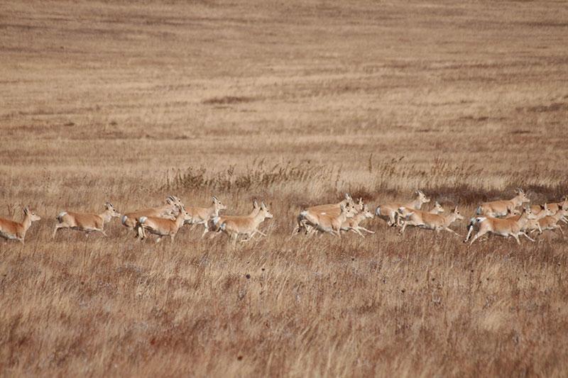 steppe-antelope