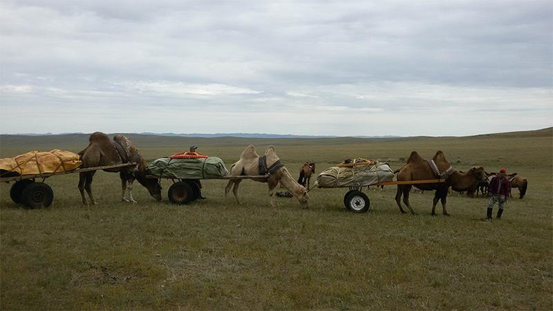 mongolian-camel-caravan