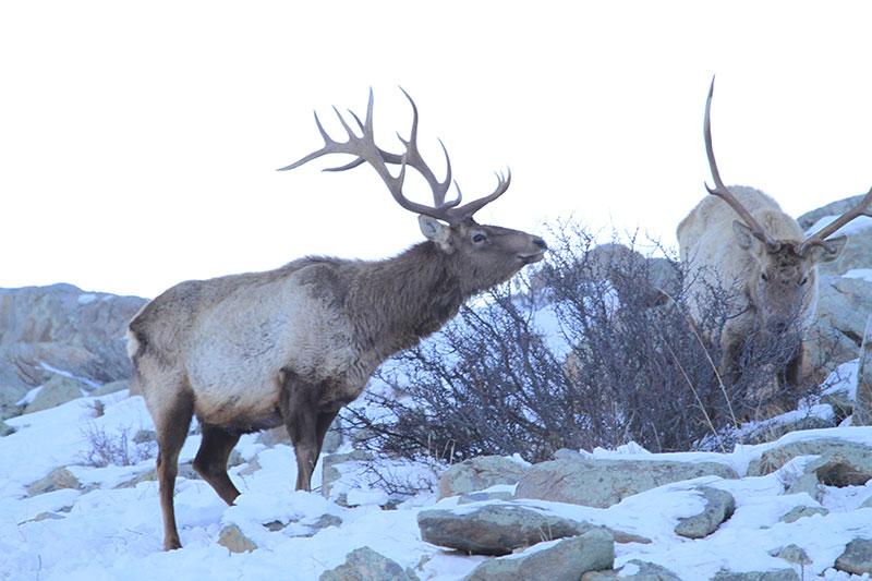 deer-in-hustai