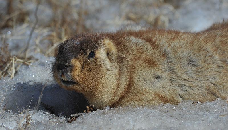 marmot-in-hustai